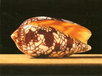 JOHN ARBUCKLE - CONE SHELL - ARCHIVAL PRINT - 9.5 X 6.5